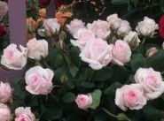 Роза флорибунда Бельмонте