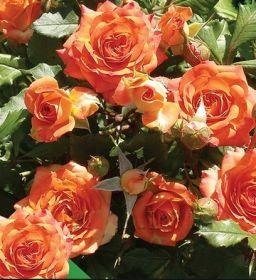Роза бордюрная Оранж беби