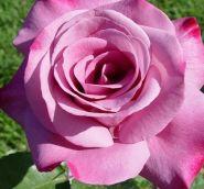 Роза чайно-гибридная Моди Блю