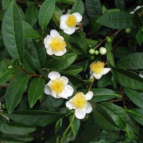 саженцы чая сочинский урожайный