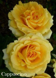 Роза на посадку, в тубусе.