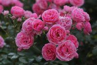 Роза 'Помпанелла' / Rose 'Pomponella'