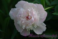 Пион травянистый 'Леди Орчид' / Paeonia 'Lady Orchid'