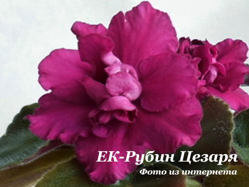 ЕК-Рубин Цезаря (Е.Коршунова)  НОВИНКА 18г