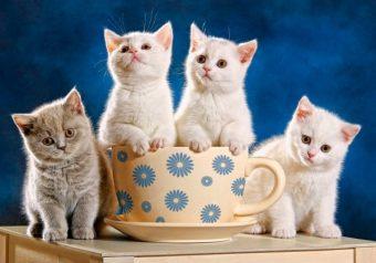 Пазлы 500 Четыре котенка