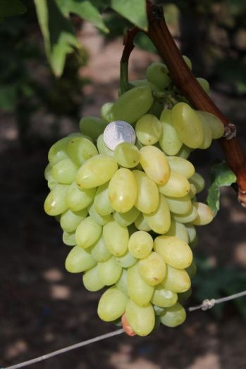 Виноград без косточки (цена за кг)