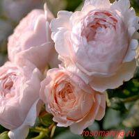 Эмбрижд Роуз (Ambridge Rose)