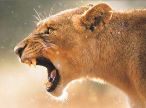 Алмазная мозаика «Львица на охоте» 40x50 см