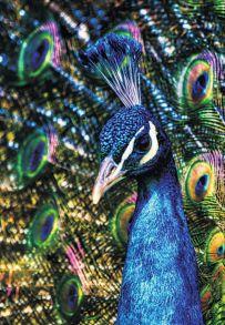 Алмазная мозаика «Неоновый павлин» 40x50 см