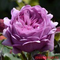 Роз Тэльма (Rose Thelma)