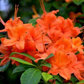 Рододендрон вечнозеленый Гейша Оранж