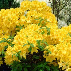 Рододендрон листопадный Японский желтый