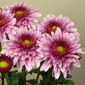 Хризантема Beppie Pink