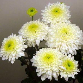 Хризантема Blenda White