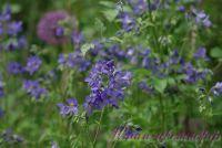 Синюха голубая / Polemonium coeruleum L.