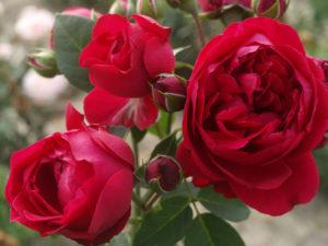Розы Red Eden Rose (Ред Иден Роуз) кассета 84 шт