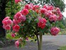 Розы Rosarium Uetersen (Розариум Ютерсен) кассета 84 шт