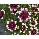 Coreopsis Satin & Lace Berry Chiffon Кореопсис кассета 84 шт