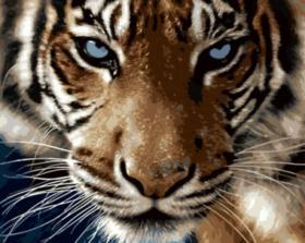 Картина по номерам «Взгляд тигра» 40x50 см