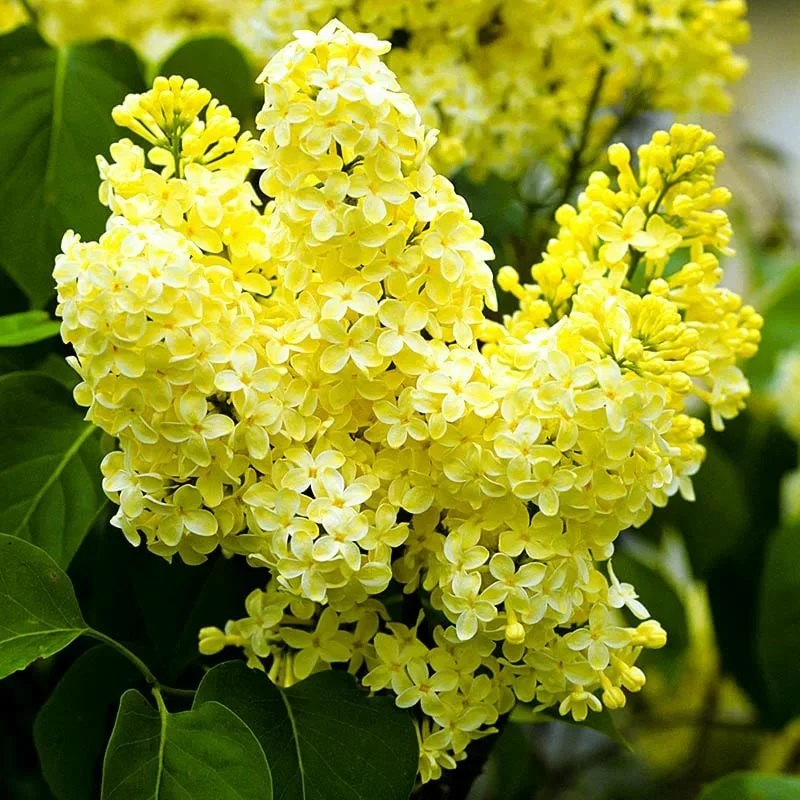 желтая сирень Примроуз (Primrose)