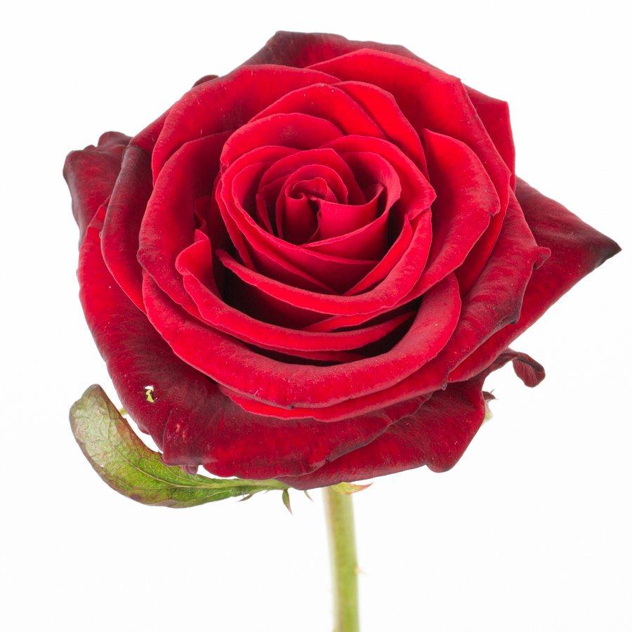 Красная роза 80 см высотой поштучно эквадорская