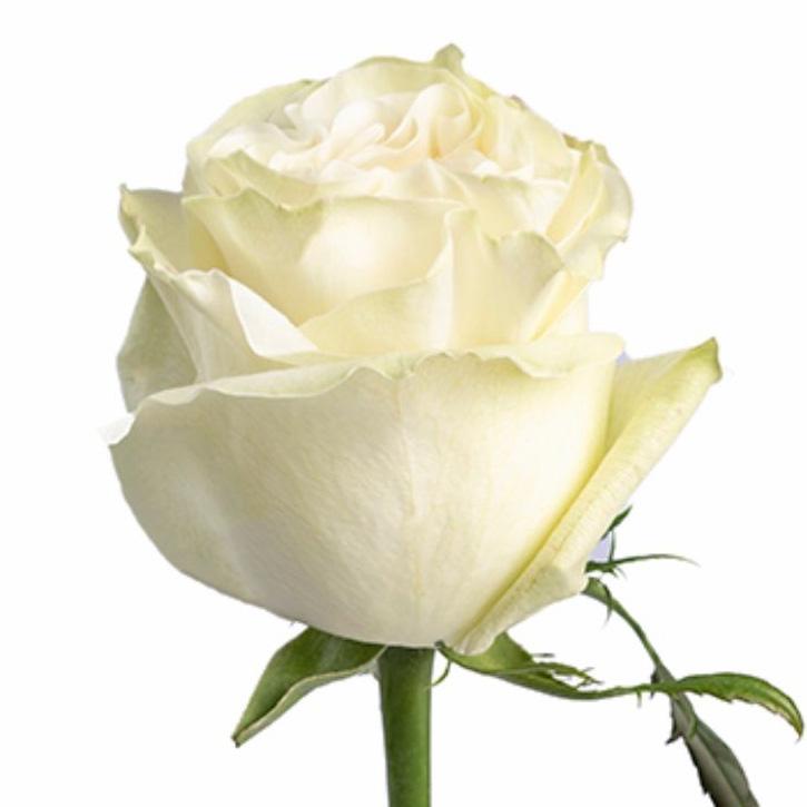 Белая роза 80 см высотой поштучно эквадорская
