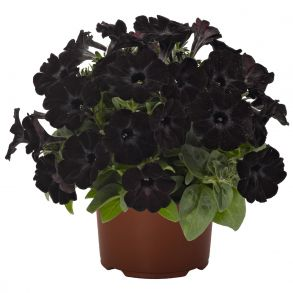 Петуния Sweetunia Black Satin