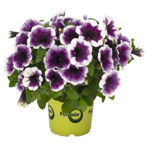 Петуния Potunia Plus Purple Halo
