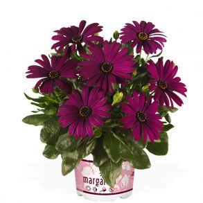 Остеоспермум Margarita Cool Purple