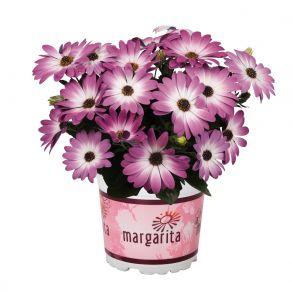 Остеоспермум Margarita Pink Flare