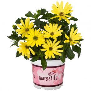 Остеоспермум Margarita Yellow 2021