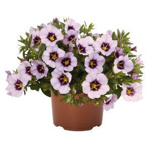 Калибрахоа Bloomtastic Lavender Quartz