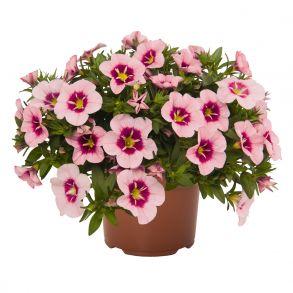 Калибрахоа Bloomtastic Rose Quartz