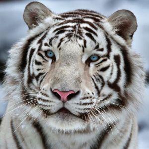 """Картина на подрамнике """"Белый тигр"""" 40*40 см   4194728"""
