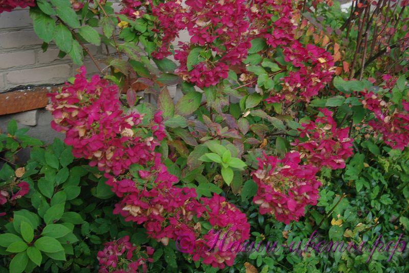 Гортензия метельчатая 'Диамонд Руж' / Hydrangea paniculata 'Diamond Rouge' (двухлетка)