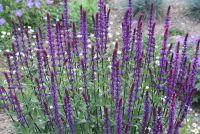 Сальвия (Шалфей) дубравная Карадонна / Salvia nemorosa Caradonna