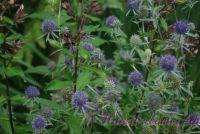 Синеголовник плосколистный 'Блу Глиттер'  / Eryngium planum 'Blue Glitter'