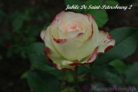 Роза 'Юбилей Санкт Петербурга' / Rose 'Jubile De Saint-Petersbourg'