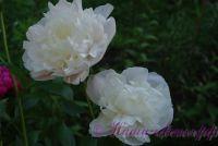 Пион травянистый 'Блаж Квин / Blush Queen'