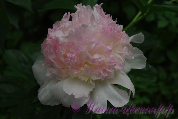 Пион травянистый 'Рэспберри Сандае' / Paeonia 'Raspberry Sundae'
