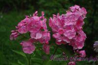 Флокс 'Мадам Клико' / Phlox 'Madamme Clicquot'