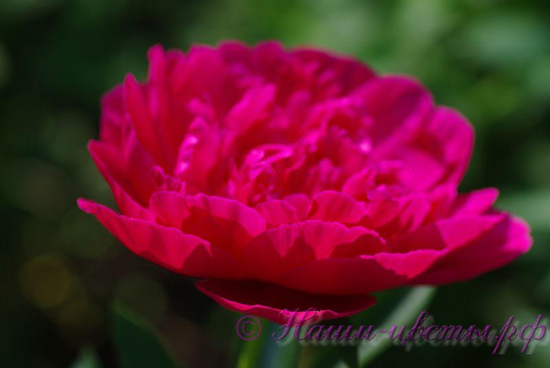 Пион травянистый 'Мадам Годишо' / Paeonia 'Madame Gaudichau'