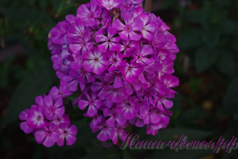 Флокс 'Пикси Миракл Блю' / Phlox 'Pixie Miracle Blue'