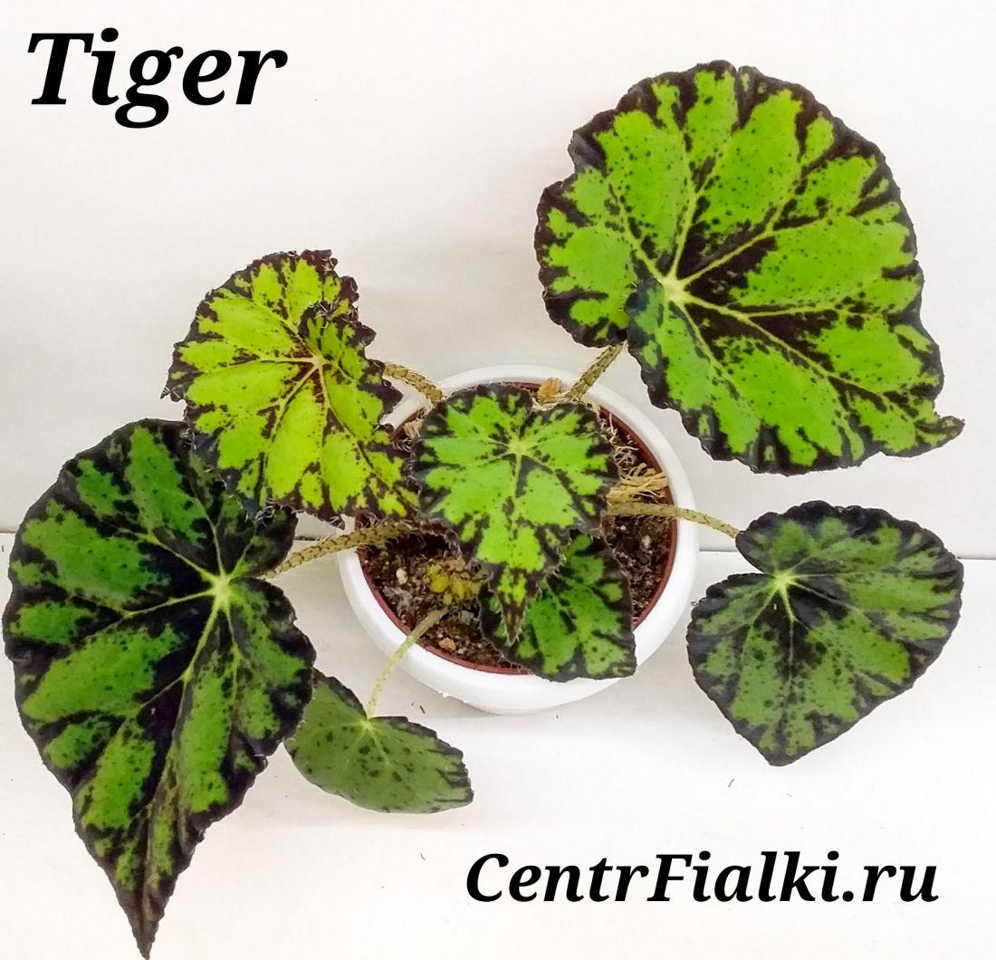 Begonia Taiger