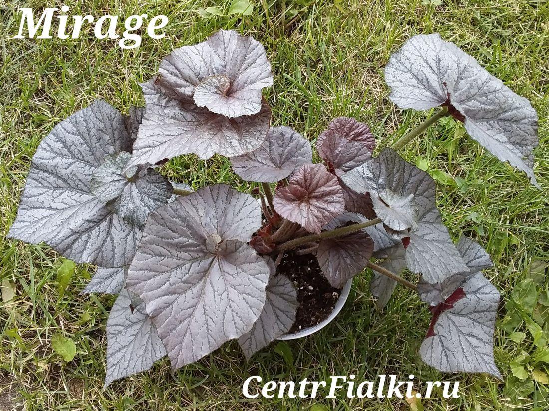 Begonia Mirage