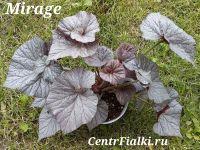 Бегония Mirage взрослое растение