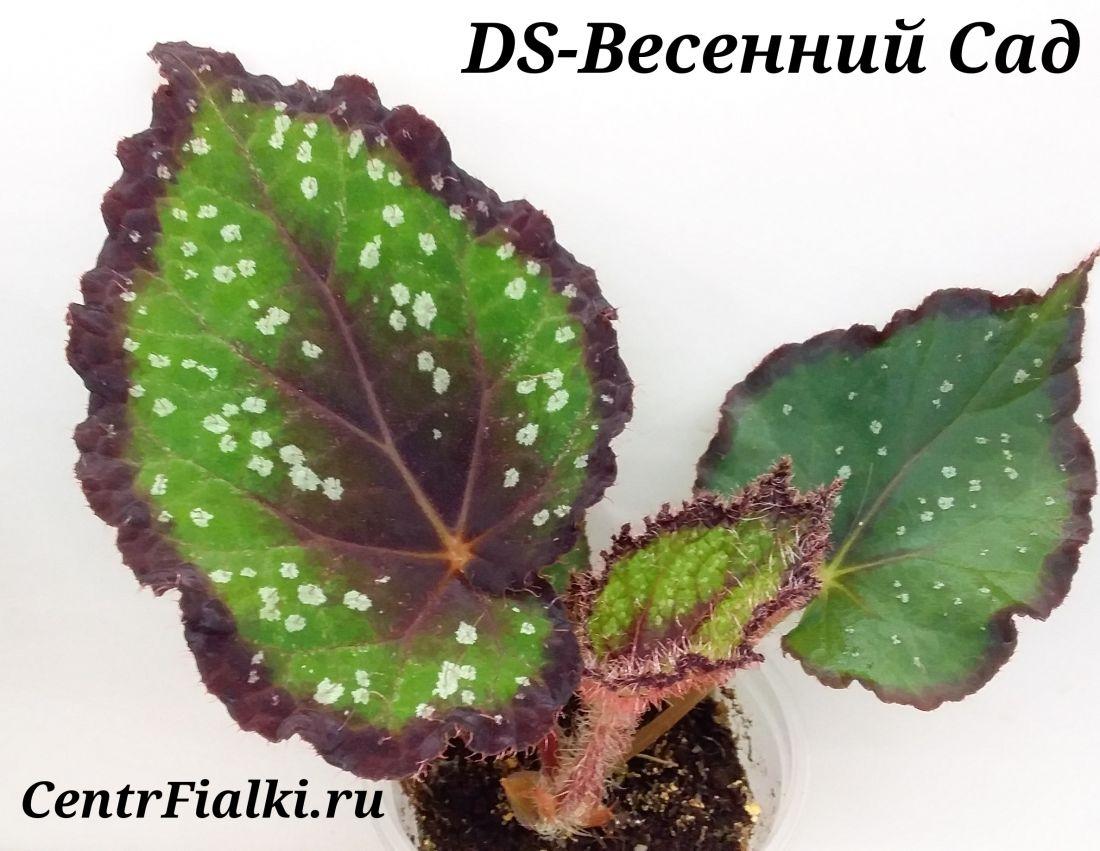 Begonia DS-Весенний Сад