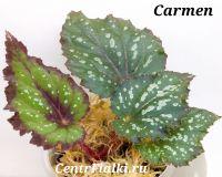 Бегония Carmen
