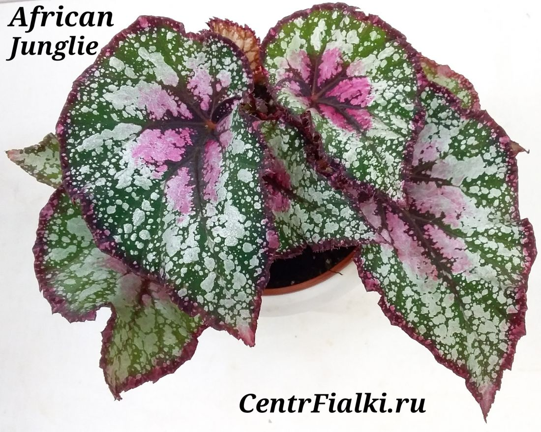 Begonia African Jungle