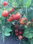 Tomat Kvochka rozovaya avtorskij Tomat Kvochka rozovaya avtorskij Myazinoj